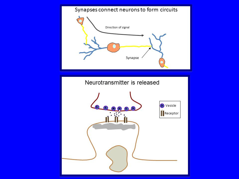 Synapses connect neurons to form circuits Synapse Direction of signal Neurotransmitter is released Receptor Vesicle