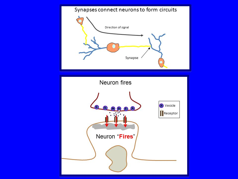 Synapses connect neurons to form circuits Synapse Direction of signal Neuron fires Receptor Vesicle Neuron Fires