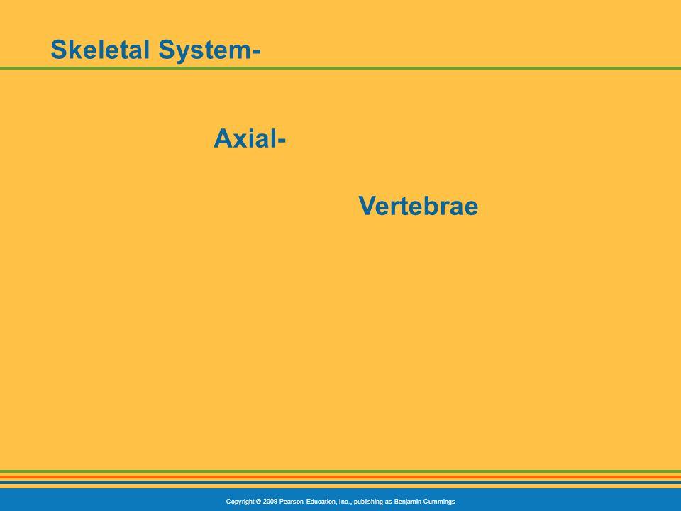 Copyright © 2009 Pearson Education, Inc., publishing as Benjamin Cummings Skeletal System- Axial- Vertebrae