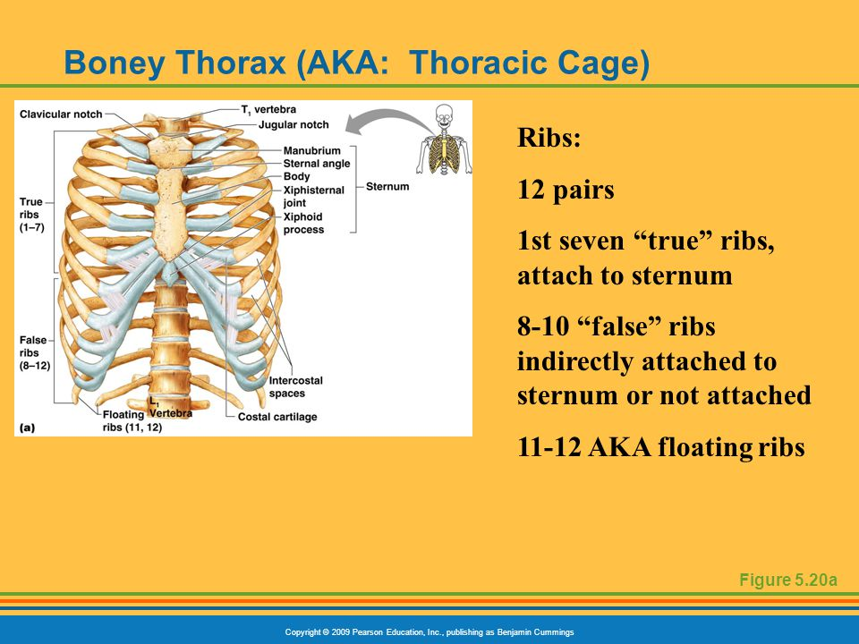 Copyright © 2009 Pearson Education, Inc., publishing as Benjamin Cummings Boney Thorax (AKA: Thoracic Cage) Figure 5.20a Ribs: 12 pairs 1st seven true ribs, attach to sternum 8-10 false ribs indirectly attached to sternum or not attached 11-12 AKA floating ribs