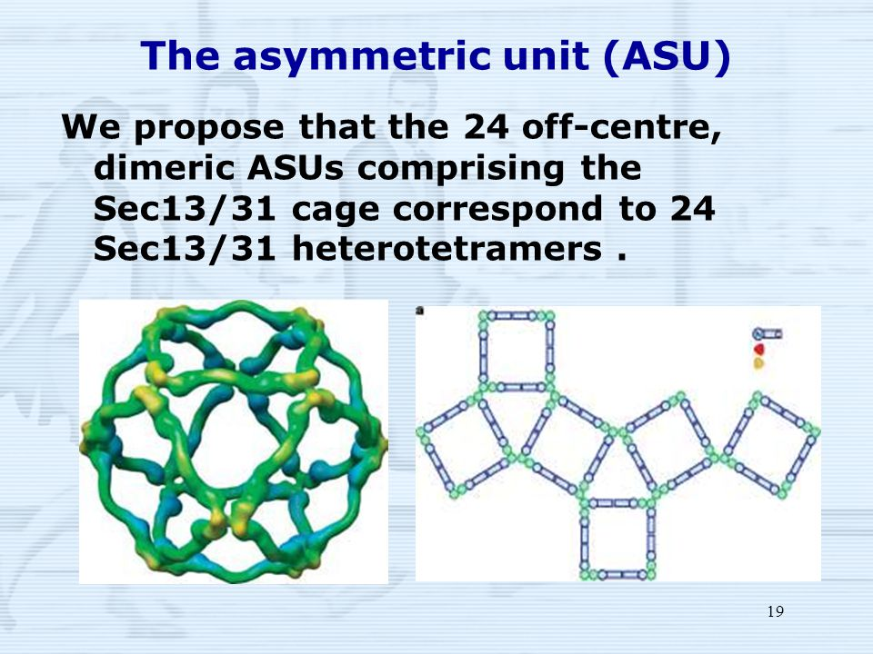 19 The asymmetric unit (ASU) We propose that the 24 off-centre, dimeric ASUs comprising the Sec13/31 cage correspond to 24 Sec13/31 heterotetramers.