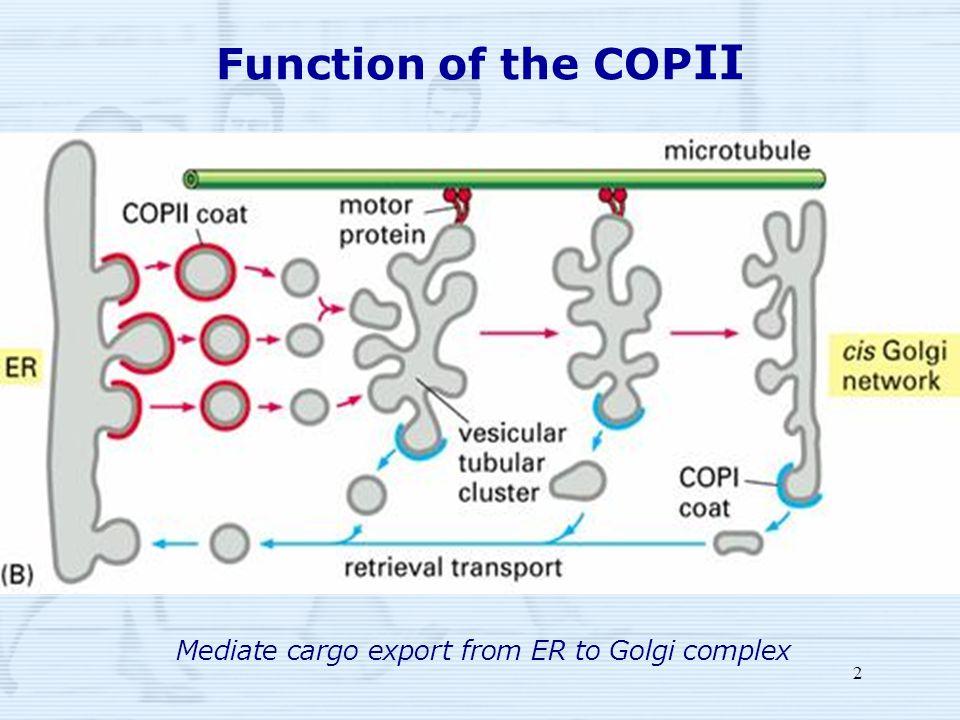 2 Function of the COP II Mediate cargo export from ER to Golgi complex
