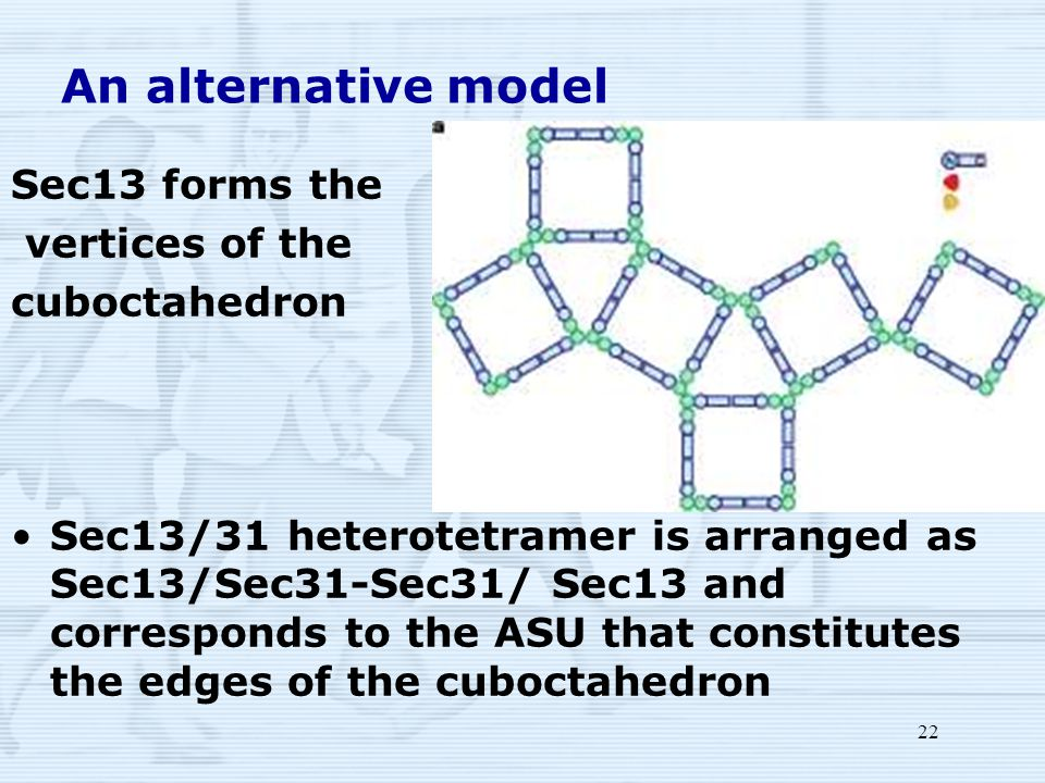 22 An alternative model Sec13 forms the vertices of the cuboctahedron Sec13/31 heterotetramer is arranged as Sec13/Sec31-Sec31/ Sec13 and corresponds to the ASU that constitutes the edges of the cuboctahedron