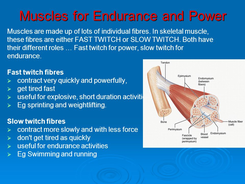 Muscles for Endurance and Power Muscles are made up of lots of individual fibres. In skeletal muscle, these fibres are either FAST TWITCH or SLOW TWIT