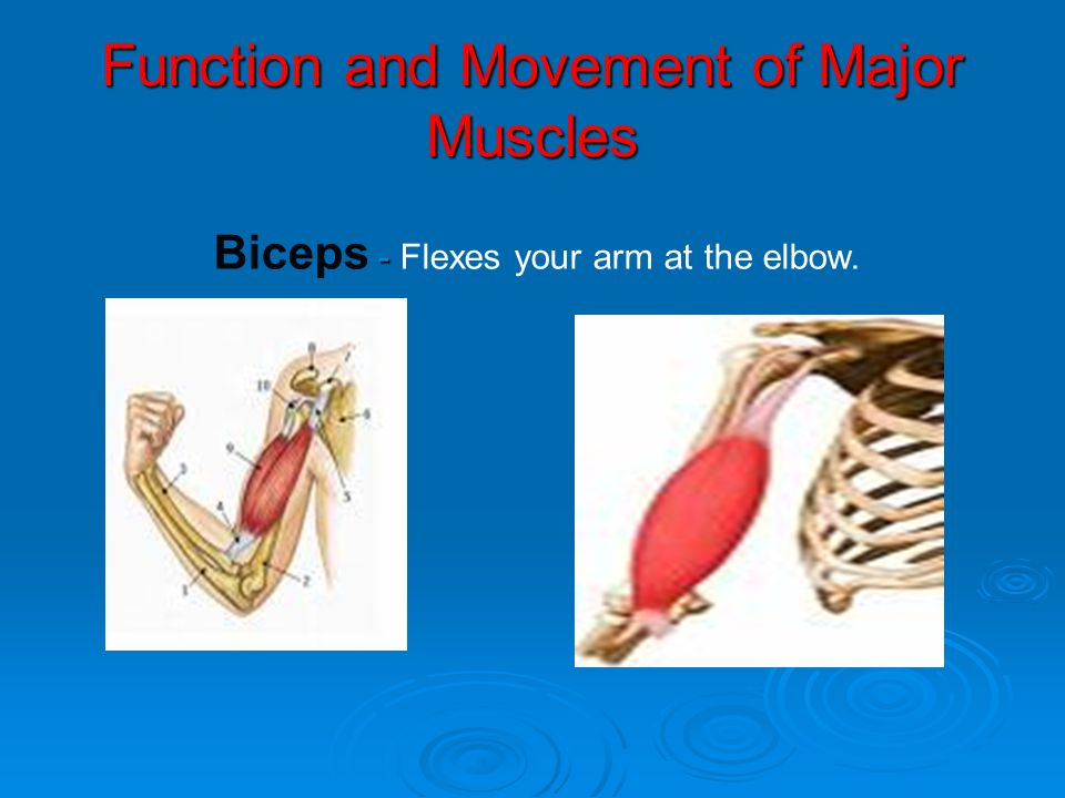 Function and Movement of Major Muscles - Biceps - Flexes your arm at the elbow.