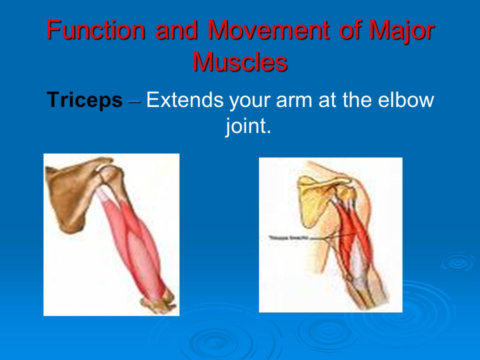 Function and Movement of Major Muscles – Triceps – Extends your arm at the elbow joint.
