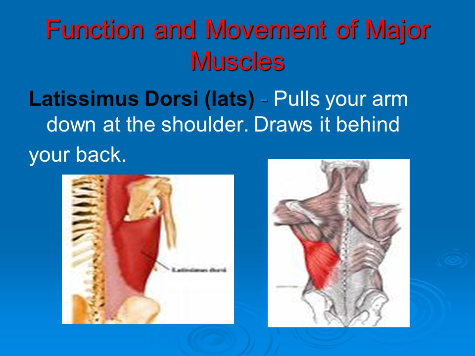 Function and Movement of Major Muscles - Latissimus Dorsi (lats) - Pulls your arm down at the shoulder. Draws it behind your back.