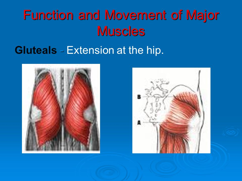 Function and Movement of Major Muscles - Gluteals - Extension at the hip.