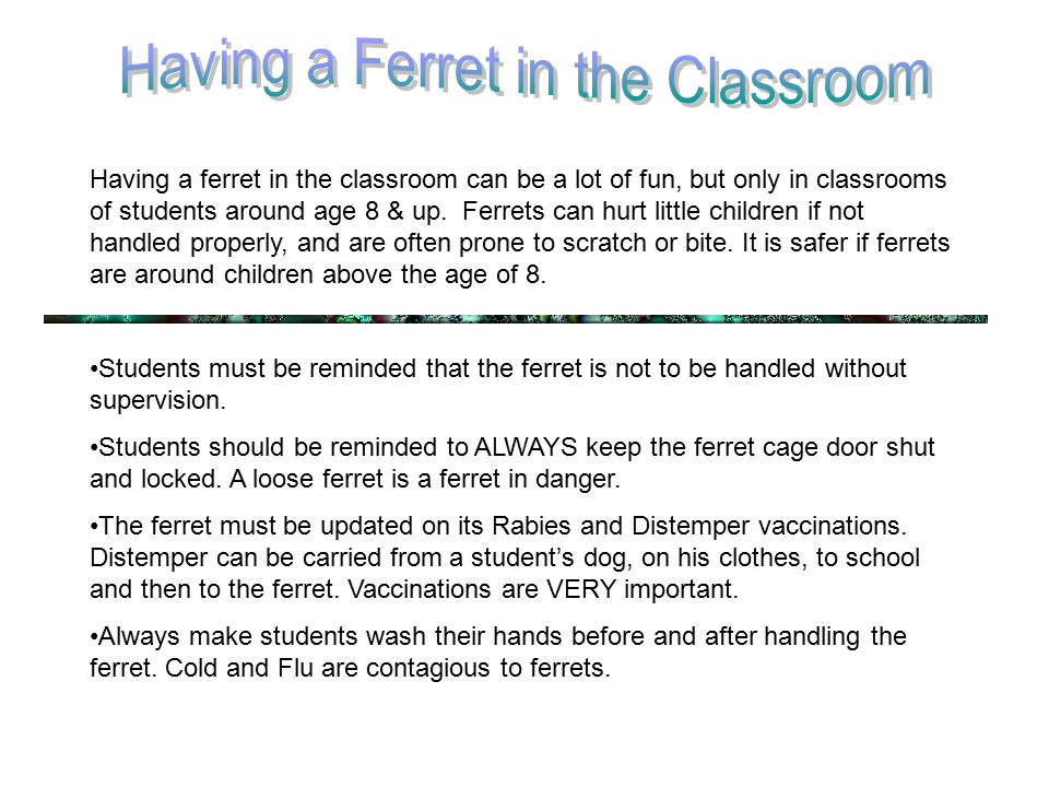 Having a ferret in the classroom can be a lot of fun, but only in classrooms of students around age 8 & up.