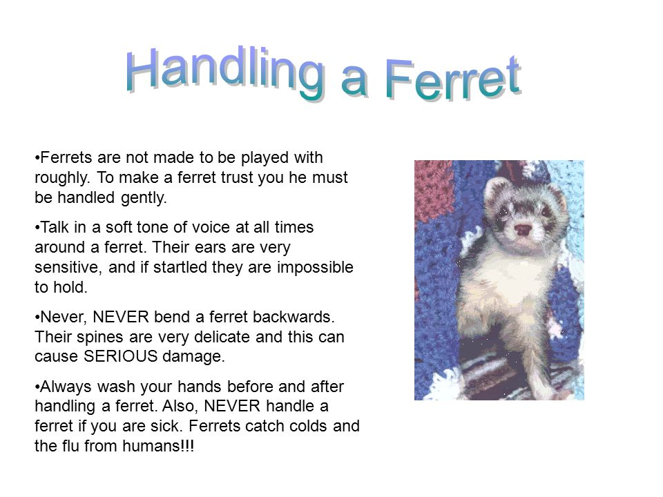 Ferrets are not made to be played with roughly.