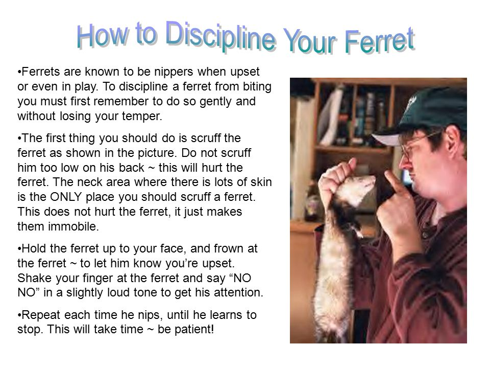 Never give a ferret chocolate ~ this can kill a ferret.