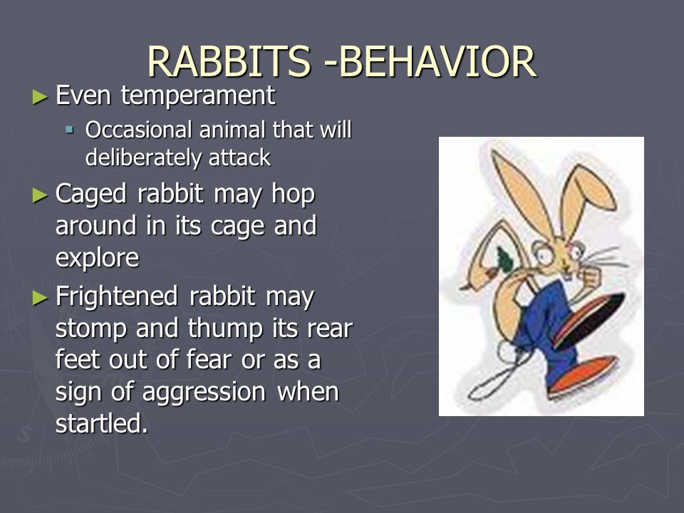 RABBITS -BEHAVIOR ► Even temperament  Occasional animal that will deliberately attack ► Caged rabbit may hop around in its cage and explore ► Frightened rabbit may stomp and thump its rear feet out of fear or as a sign of aggression when startled.