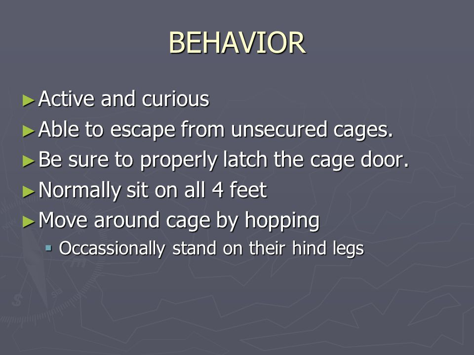 BEHAVIOR ► Active and curious ► Able to escape from unsecured cages.