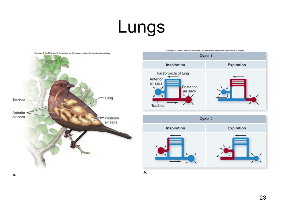 23 Lungs