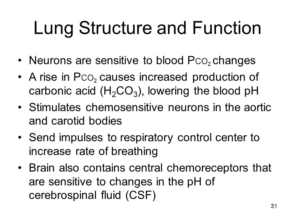 Lung Structure and Function Neurons are sensitive to blood P CO 2 changes A rise in P CO 2 causes increased production of carbonic acid (H 2 CO 3 ), l