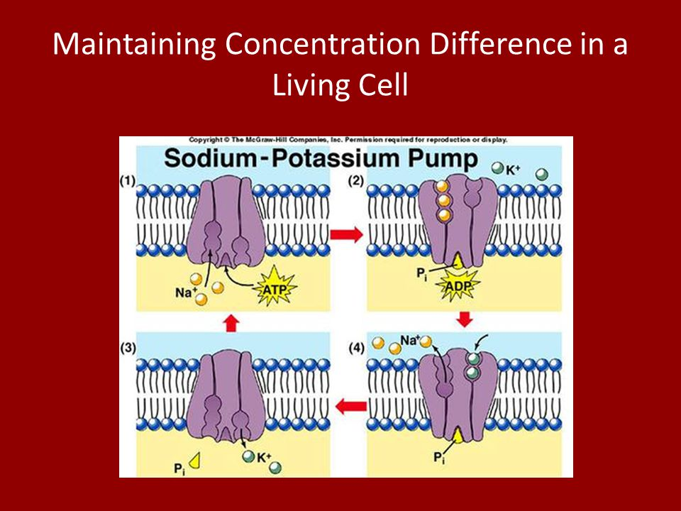 Maintaining Concentration Difference in a Living Cell