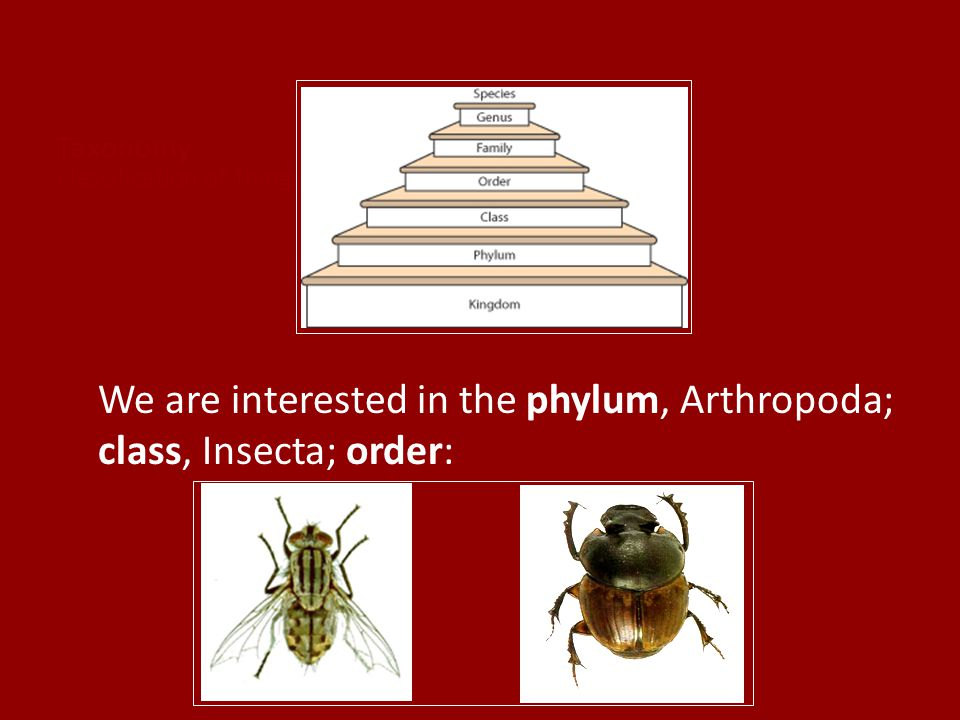 Taxonomy Classification of Things in an Orderly Way We are interested in the phylum, Arthropoda; class, Insecta; order: Diptera (flies) Coleoptera (be