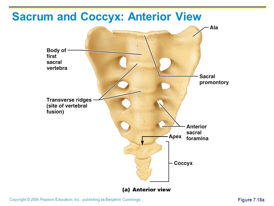 Copyright © 2006 Pearson Education, Inc., publishing as Benjamin Cummings Sacrum and Coccyx: Anterior View Figure 7.18a