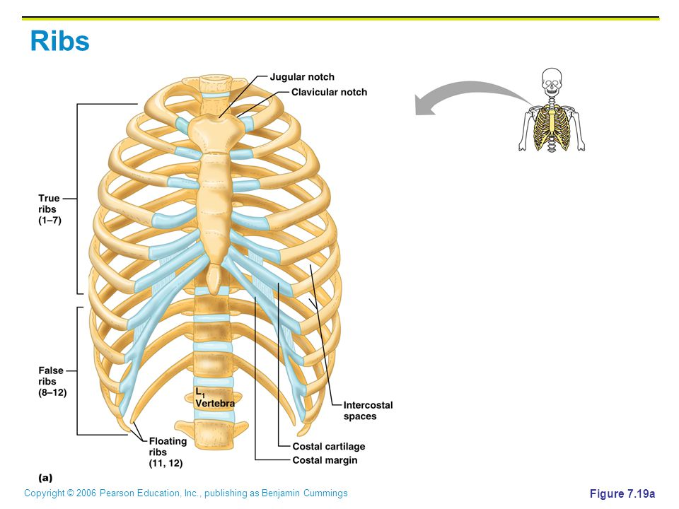 Copyright © 2006 Pearson Education, Inc., publishing as Benjamin Cummings Ribs Figure 7.19a