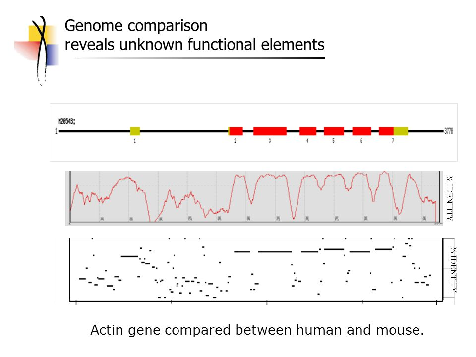 Genome comparison reveals unknown functional elements % IDENTITY Actin gene compared between human and mouse.