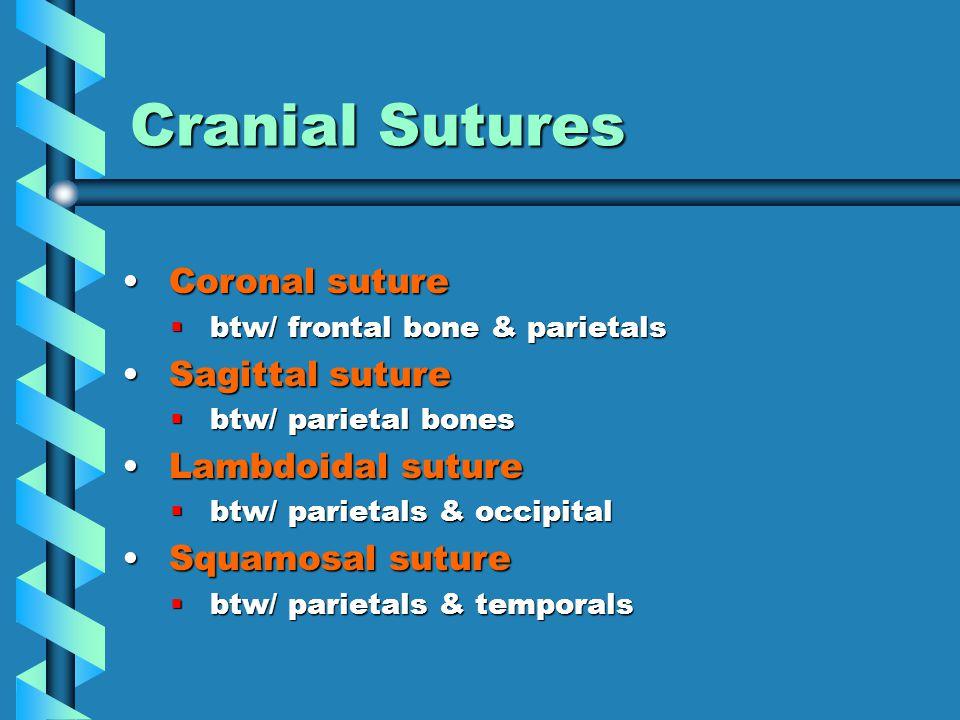 Cranial Sutures Coronal suture Coronal suture  btw/ frontal bone & parietals Sagittal suture Sagittal suture  btw/ parietal bones Lambdoidal suture Lambdoidal suture  btw/ parietals & occipital Squamosal suture Squamosal suture  btw/ parietals & temporals