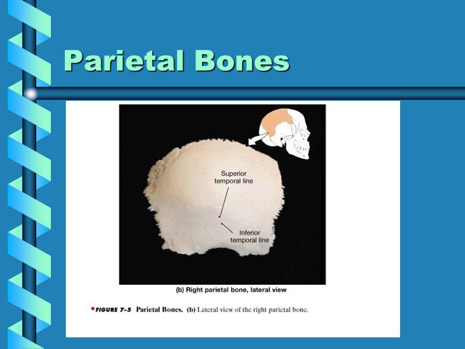 Parietal Bones