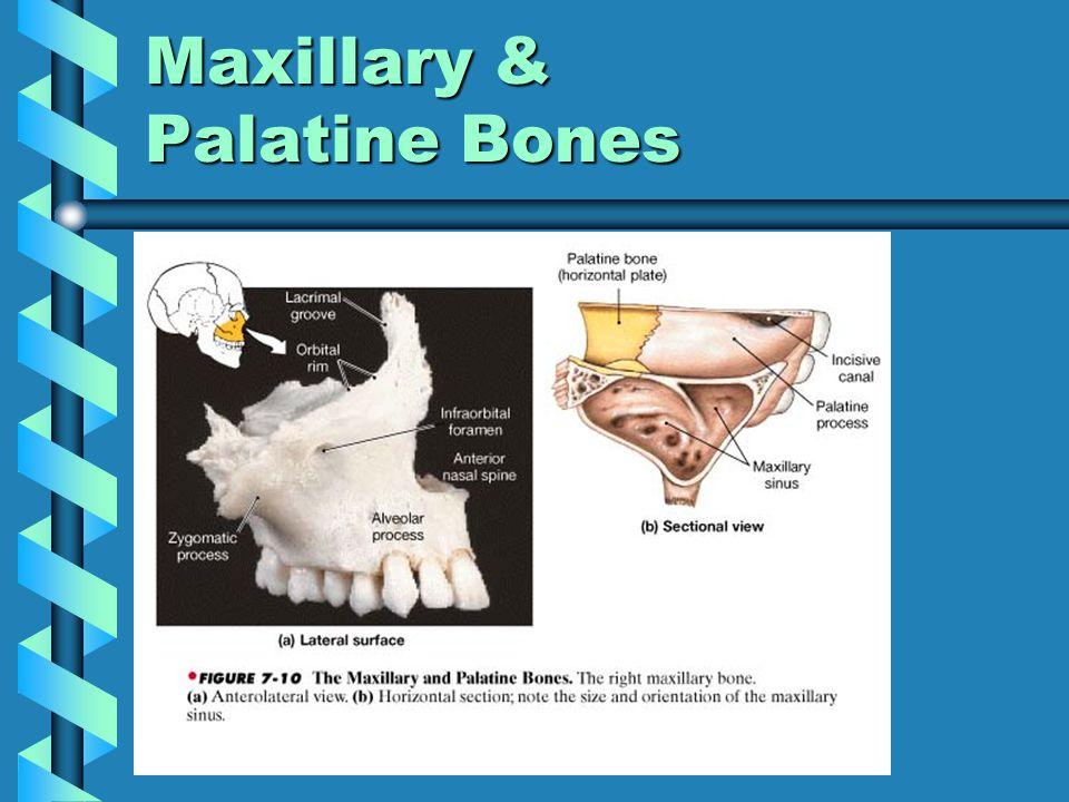 Maxillary & Palatine Bones