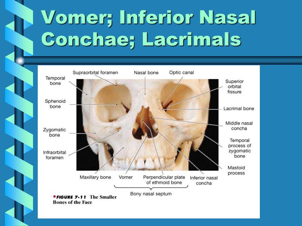 Vomer; Inferior Nasal Conchae; Lacrimals