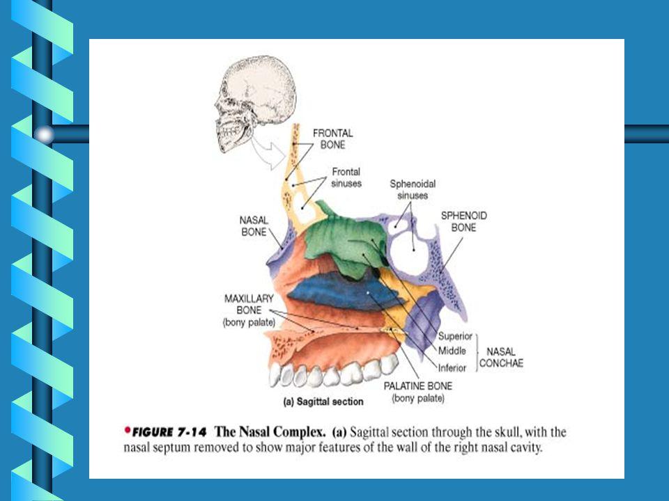 Nasal Complex