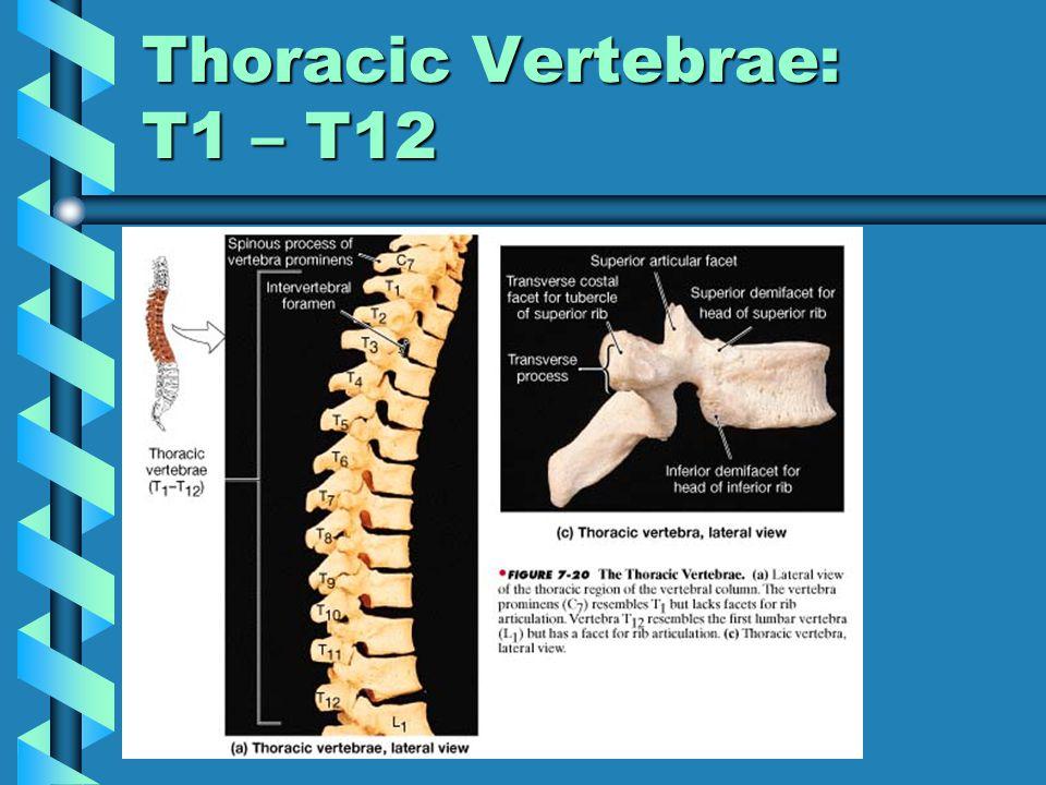 Thoracic Vertebrae: T1 – T12