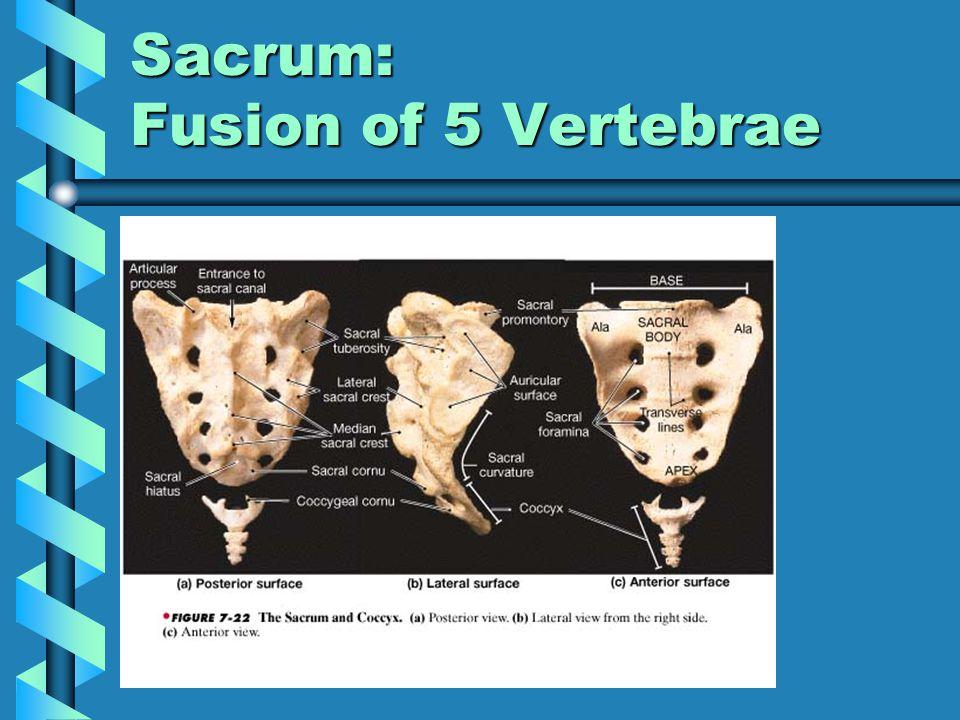 Sacrum: Fusion of 5 Vertebrae