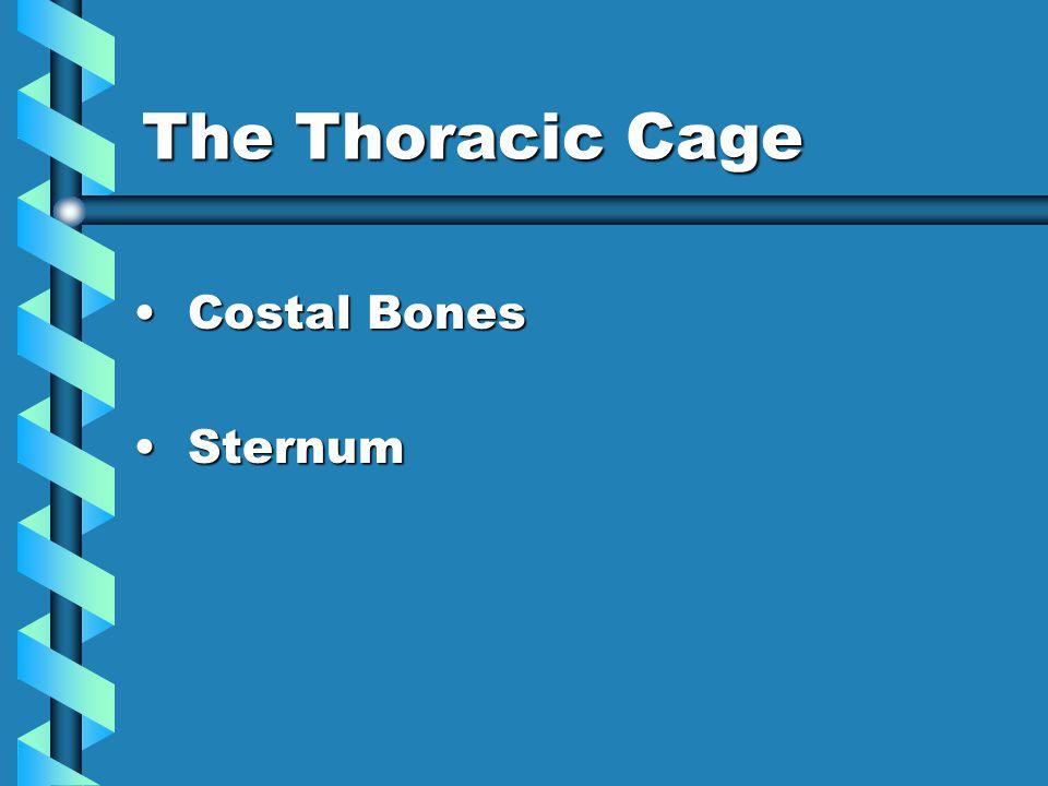 The Thoracic Cage Costal Bones Costal Bones Sternum Sternum