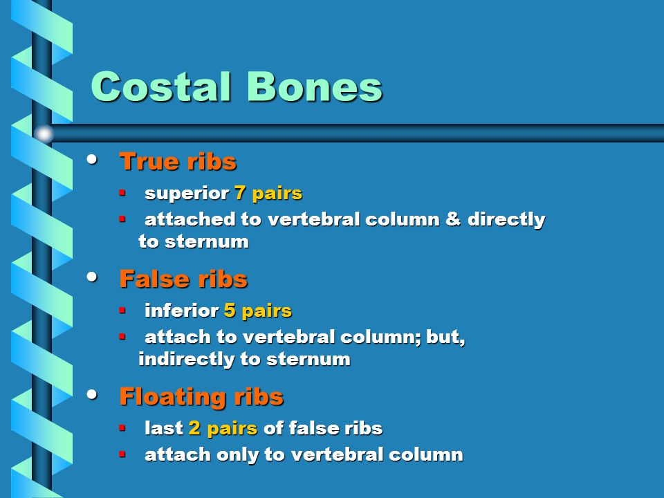 Costal Bones True ribs True ribs  superior 7 pairs  attached to vertebral column & directly to sternum False ribs False ribs  inferior 5 pairs  attach to vertebral column; but, indirectly to sternum Floating ribs Floating ribs  last 2 pairs of false ribs  attach only to vertebral column