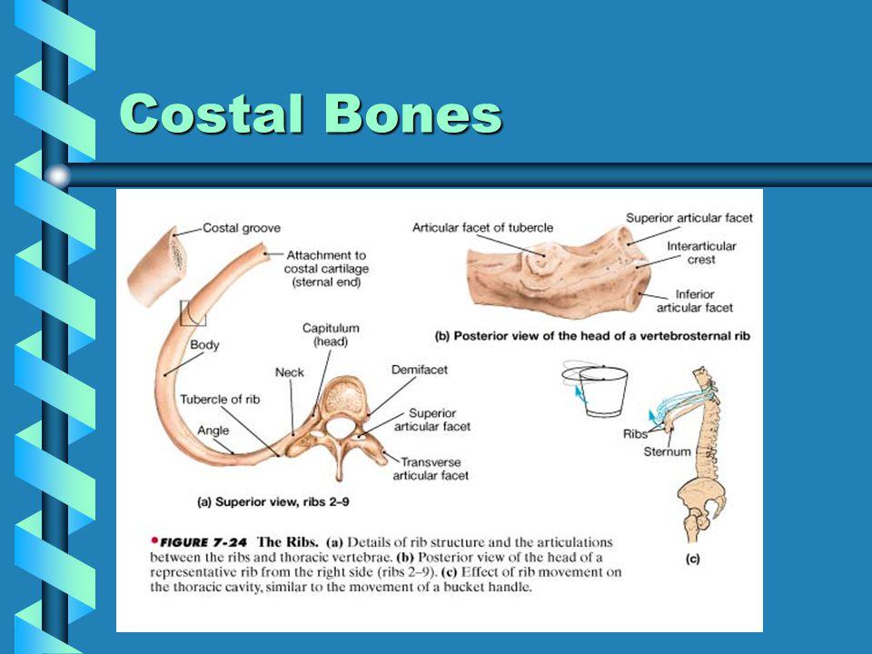 Costal Bones