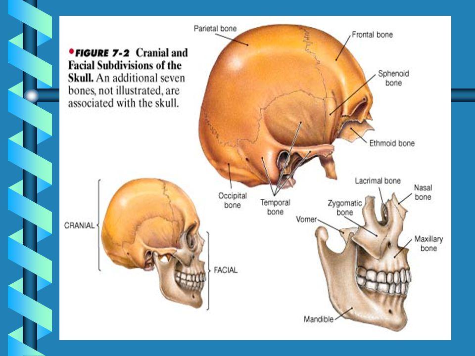 The Skull: Cranial & Facial Divisions