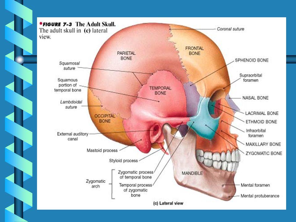 Cranial & Facial Bones