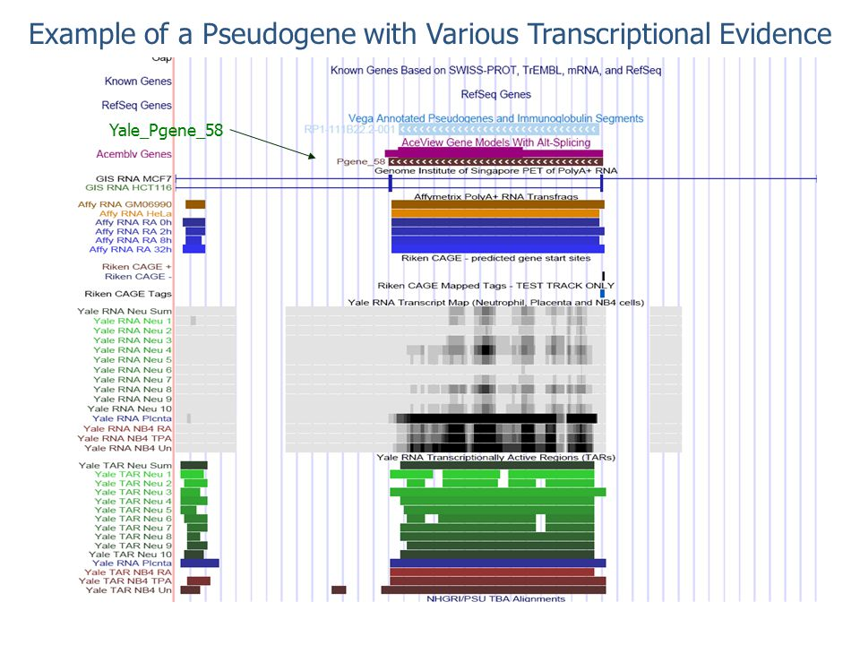 Example of a Pseudogene with Various Transcriptional Evidence Yale_Pgene_58