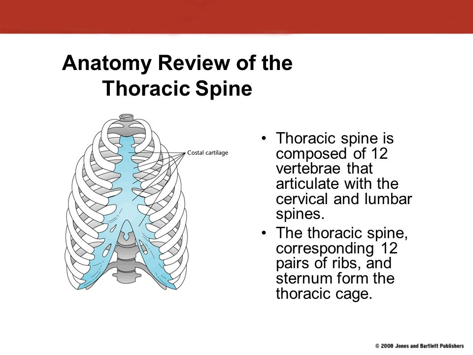 Anatomy Review of the Thoracic Spine Thoracic spine is composed of 12 vertebrae that articulate with the cervical and lumbar spines.