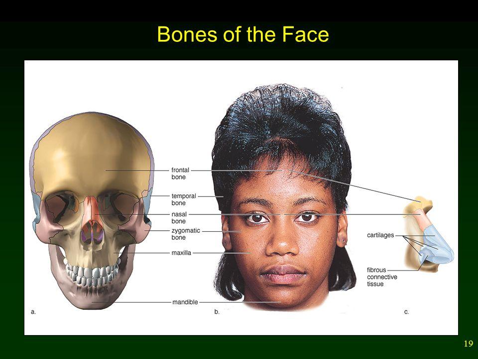 19 Bones of the Face
