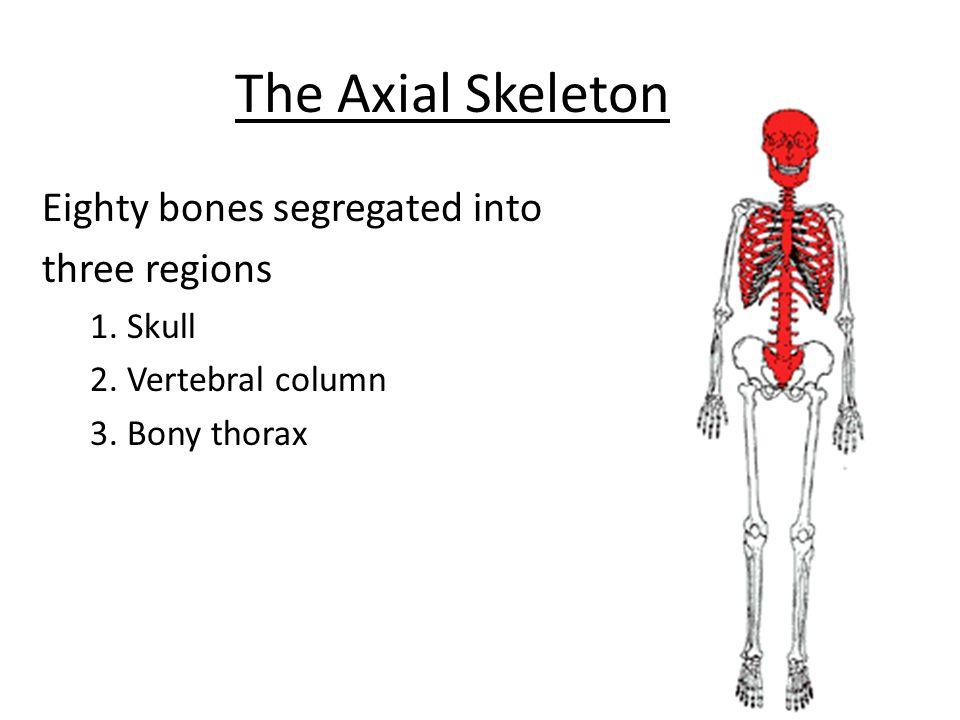 The Axial Skeleton Eighty bones segregated into three regions 1. Skull 2. Vertebral column 3. Bony thorax