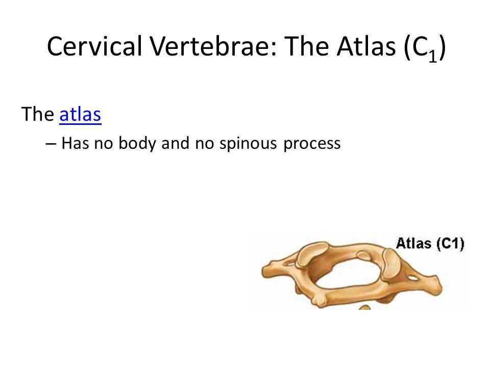 Cervical Vertebrae: The Atlas (C 1 ) The atlasatlas – Has no body and no spinous process
