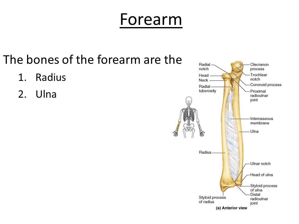 Forearm The bones of the forearm are the 1.Radius 2.Ulna