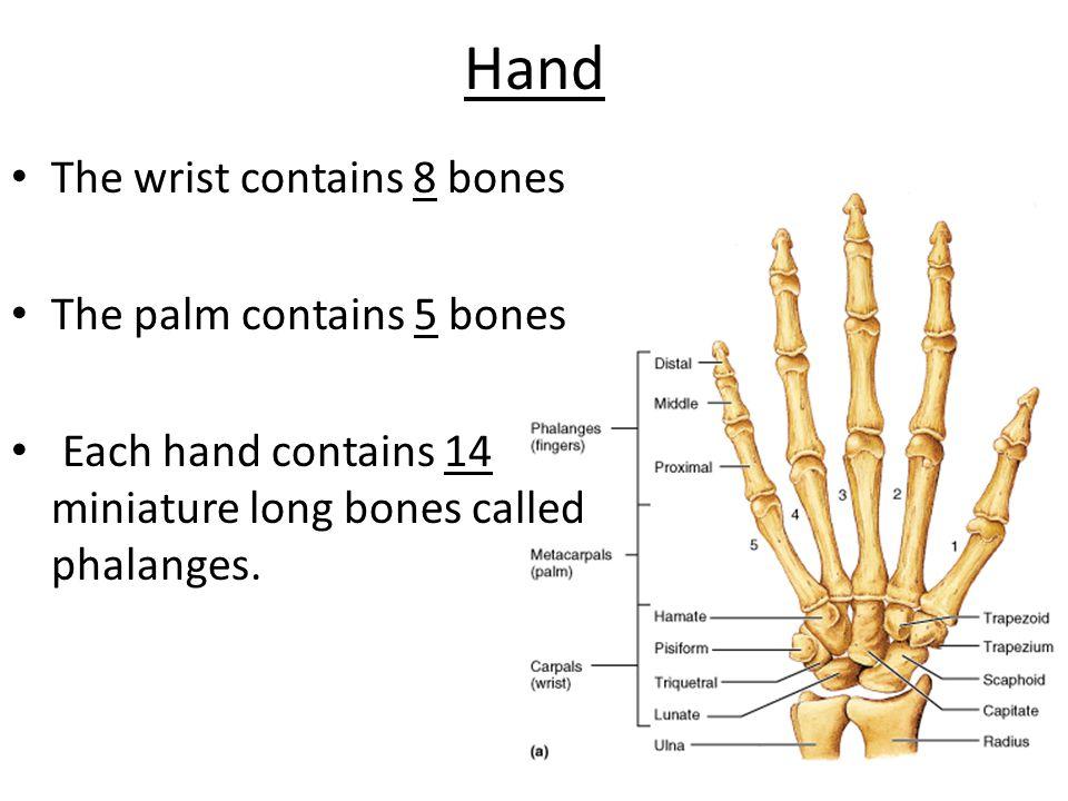 Hand The wrist contains 8 bones The palm contains 5 bones Each hand contains 14 miniature long bones called phalanges.