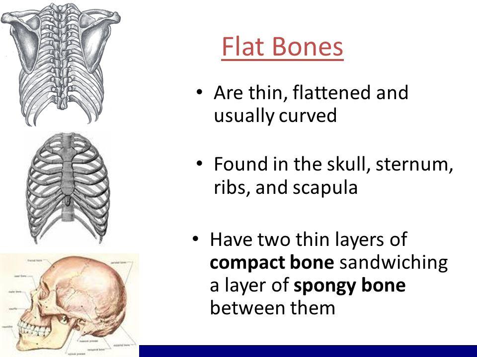 Flat Bones The parietal bone of the skull Figure 6–2b