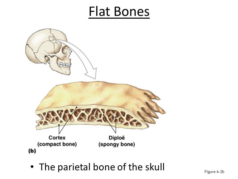 Sutural Bones Are small, irregular bones Are found between the flat bones of the skull