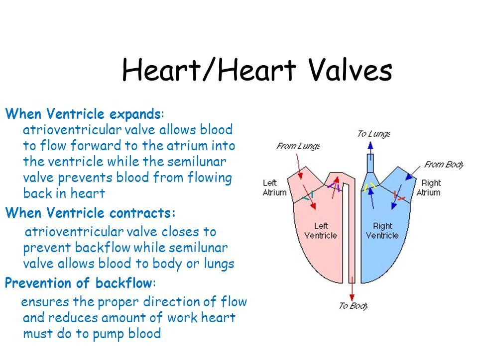 Heart/Heart Valves When Ventricle expands: atrioventricular valve allows blood to flow forward to the atrium into the ventricle while the semilunar valve prevents blood from flowing back in heart When Ventricle contracts: atrioventricular valve closes to prevent backflow while semilunar valve allows blood to body or lungs Prevention of backflow: ensures the proper direction of flow and reduces amount of work heart must do to pump blood