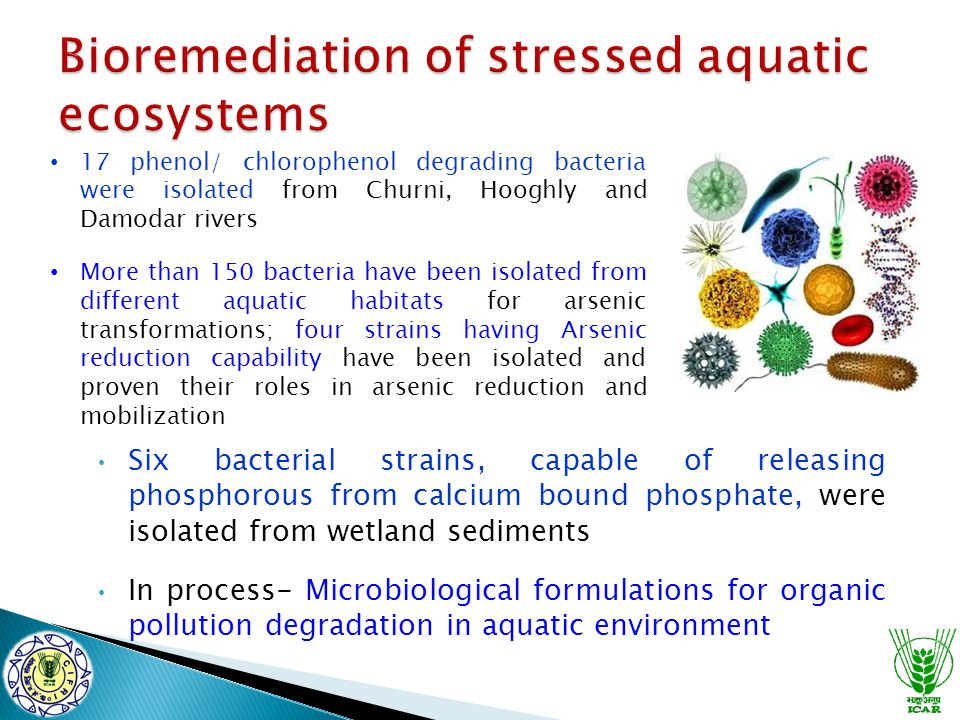 Six bacterial strains, capable of releasing phosphorous from calcium bound phosphate, were isolated from wetland sediments In process- Microbiological formulations for organic pollution degradation in aquatic environment 17 phenol/ chlorophenol degrading bacteria were isolated from Churni, Hooghly and Damodar rivers More than 150 bacteria have been isolated from different aquatic habitats for arsenic transformations; four strains having Arsenic reduction capability have been isolated and proven their roles in arsenic reduction and mobilization