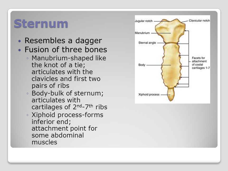 Sternum Resembles a dagger Fusion of three bones ◦Manubrium-shaped like the knot of a tie; articulates with the clavicles and first two pairs of ribs