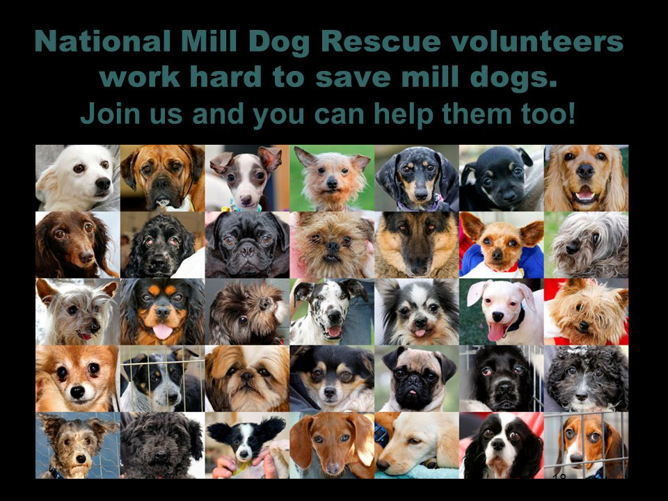 National Mill Dog Rescue volunteers work hard to save mill dogs.