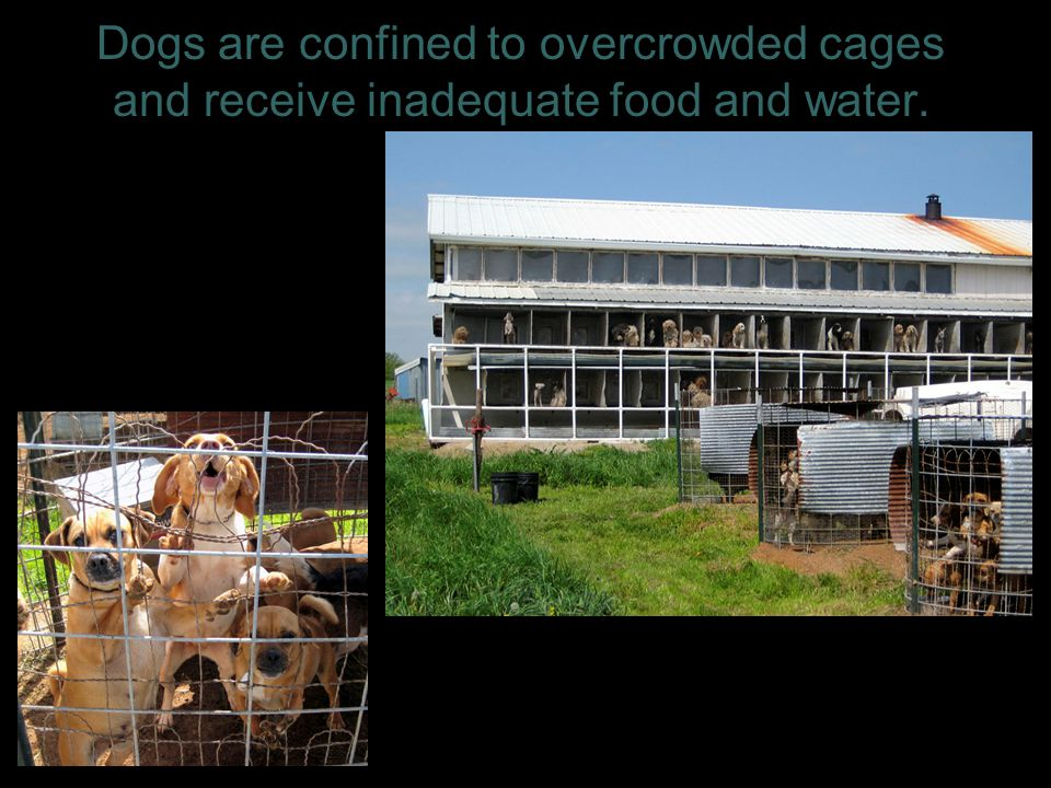 Dogs are confined to overcrowded cages and receive inadequate food and water. 4